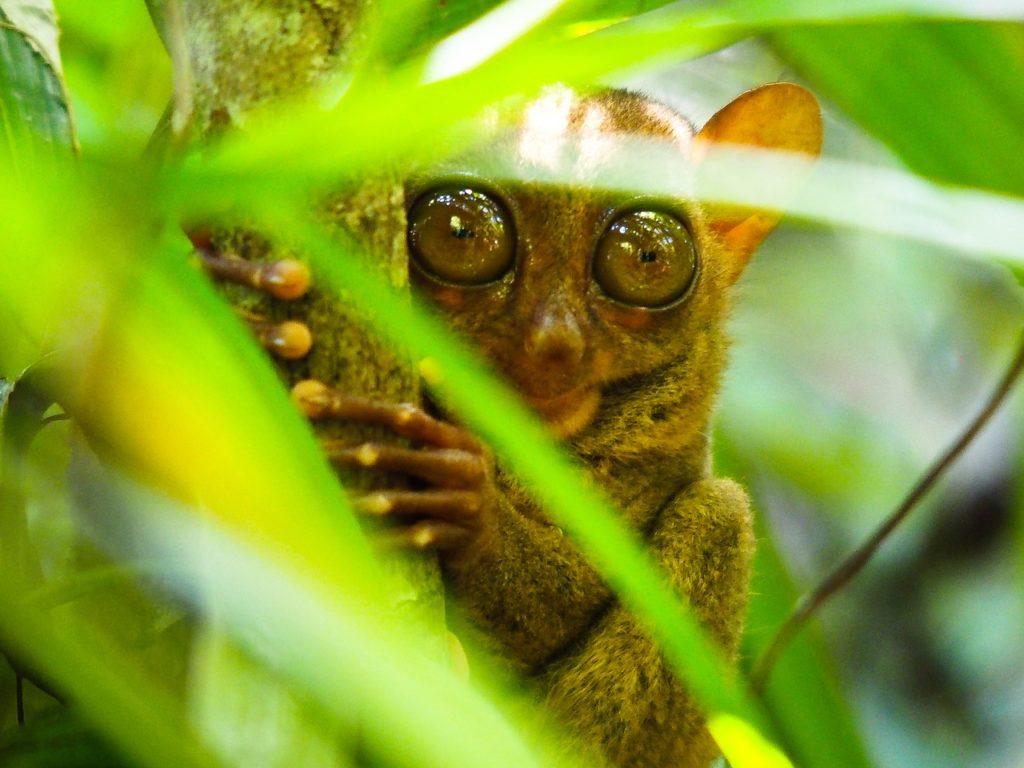 Tarsier close-up on a tree